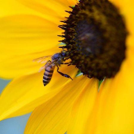 Macro Mode : ON Nikon D7200 Nikonphotography Indiaphotography India Spring Photography Iamexclusive Iamnikon Iamshutterbug Nikkor 105mm Closeup Flower HoneyBee Bee