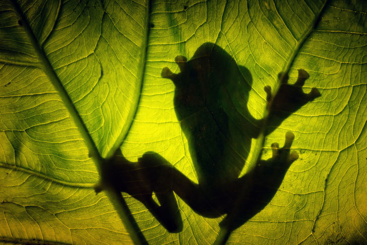 Tree Frog -