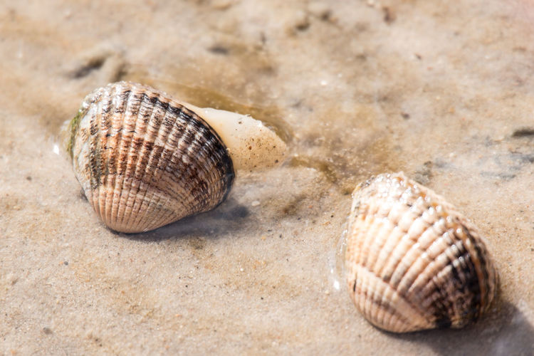 Amrum Tideland Animal Shell Animal Themes Animal Wildlife Animals In The Wild Close-up Day Mudflats Nature No People One Animal Outdoors Sand Sea Sea Life Seashell Wadden Sea Wattenmeer EyeEmNewHere