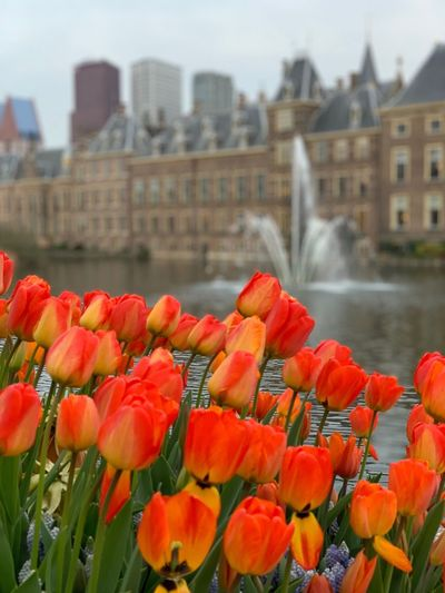 Close-up of red tulip flowers in city