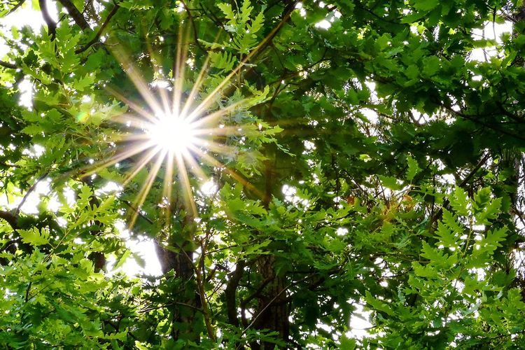 Sun star with 18 rays Star Green Leaves Sun Star Tree Branch Sun Leaf Sunlight Sky Green Color Plant Starry Greenery Shining Plant Life Photosynthesis Sunbeam Flora Woods
