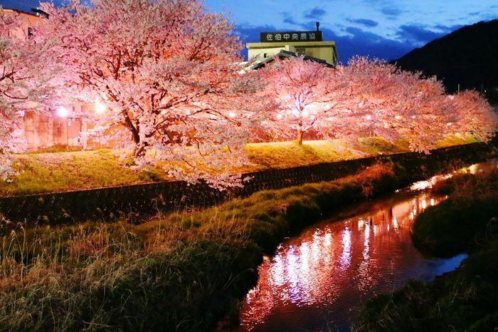 Cherry Blossoms Sakura Hanami Nightphotography Japan Japanese Traditional Riverside Night River Enjoying Life