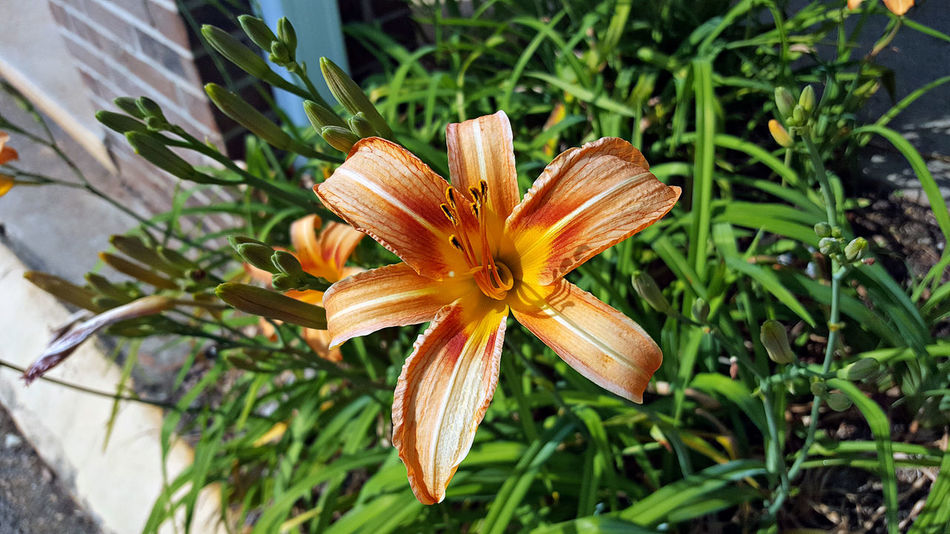 Beauty In Nature Botany Close-up Day Day Lily Flower Flower Head Flowering Plant Fragility Freshness Growth Inflorescence Lily Nature No People Orange Color Outdoors Petal Plant Pollen Vulnerability