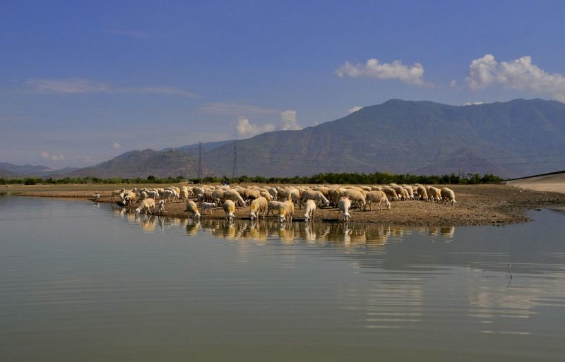 Flock of sheep in a lake