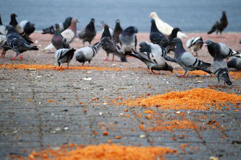 Flock of pigeons perching on footpath