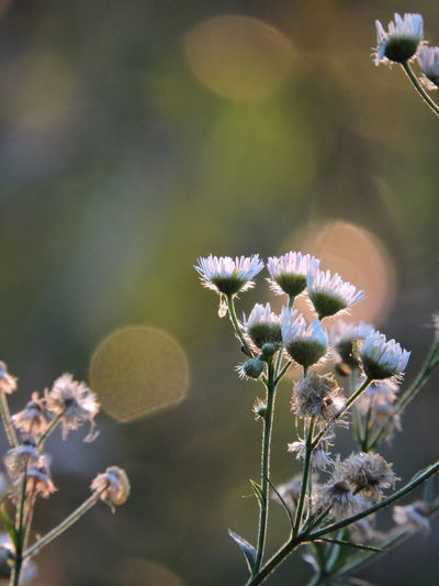 Fleabane No Peoples Beauty In Nature Full Frame Shot No Filter No Edit Sunlit Beauty Wildflower Photography
