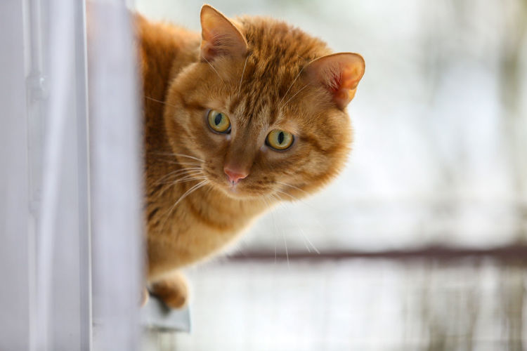 Animal Themes Pets Domestic Cat One Animal Domestic Cat Animal Domestic Animals Feline Mammal Close-up No People Ginger Cat Focus On Foreground Animal Head  World Cat Day Portrait Whisker Green Eyes Green Eyed Cat