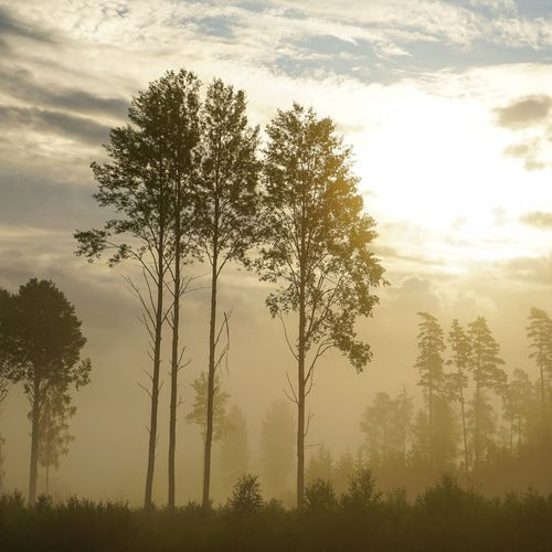 Misty morning Tree Sunset Forest Pine Tree Pinaceae Cloud - Sky Nature No People Beauty In Nature Tree Trunk Sky Outdoors Day Landscape Freshness Tree Area Close-up Pixelated