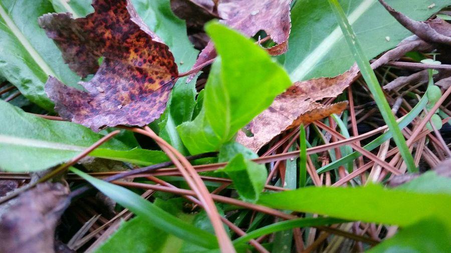 Dandelion winter Dandelion Winnter North Florida Winter North Florida Christmas Pine Straw Showcase: December