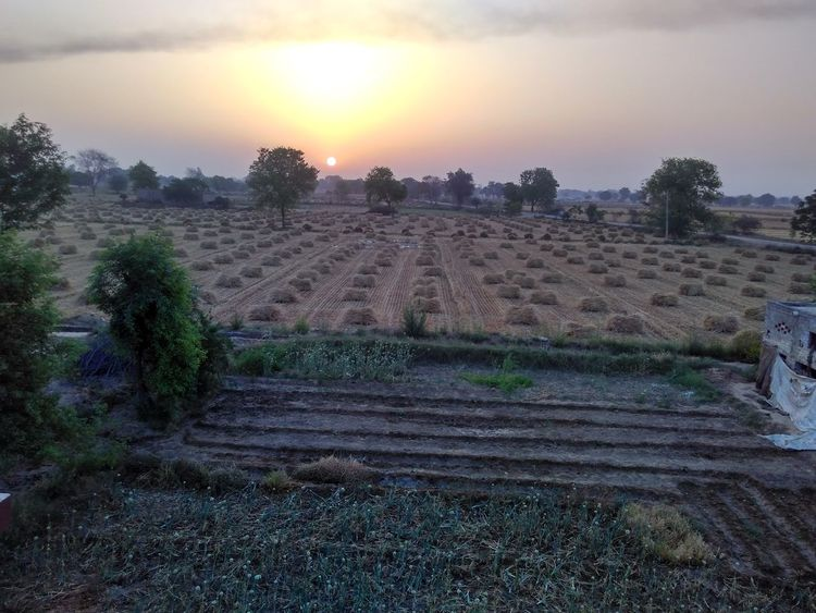 Agriculture Beauty In Nature Crop  Day Farm Field Growth Landscape Nature No People Outdoors Rural Scene Scenics Sky Sunset Tranquil Scene Tranquility Tree The Week On EyeEm