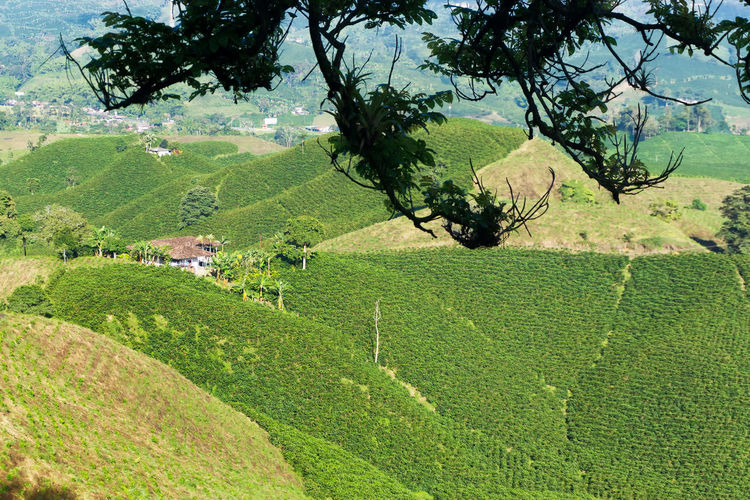 Landscape of coffee plants near Manizales, Colombia Agriculture America Caldas Chinchina Coffee Colombia Cup Farm Field Fresh Growth Landscape Leaf Manizales Mountain Nature Outdoors Plant Plantation Plantations Plants South Travel Tree View