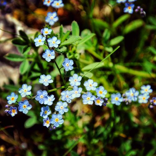 LittleBlueFlowers Macro_flower Flower Photography Enjoying Life Blue My Life