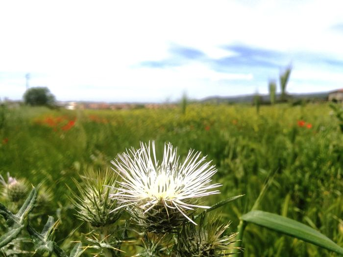 Flower Head Flower Thistle Field Uncultivated Wildflower Sky Close-up Plant