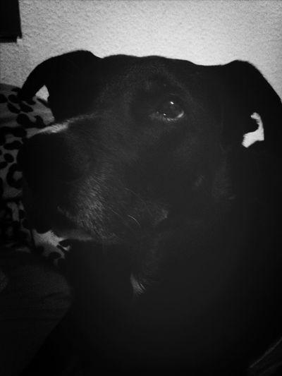 Pets My Dog Labrador