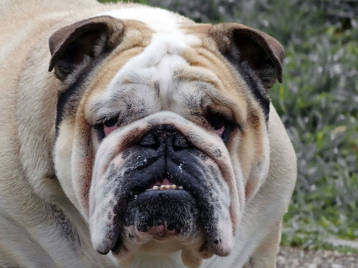 English Bulldog Bulldog Pet Portraits Animal Head  Animal Themes British Bulldog Bulldog Looking At Camera Bulldog Looking At You Close-up Dog Domestic Animals English Bulldog Looking At Camera Mammal Pets Portrait