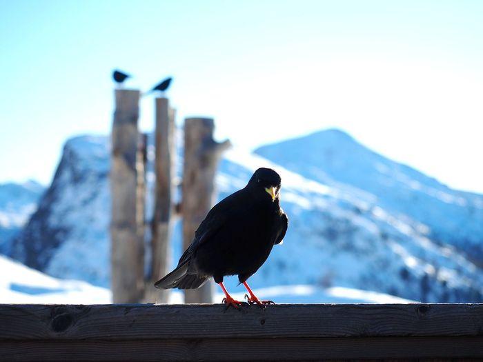 Solitario Mountain Solitaire Bird Dolomiti Bird Perching Raven - Bird Mountain Snow Winter Wood - Material Sky Close-up Crow Songbird