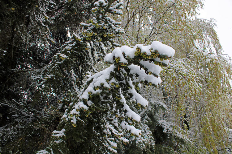 Snow covered pine tree in forest