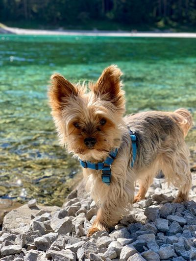 Portrait of dog on rock by water