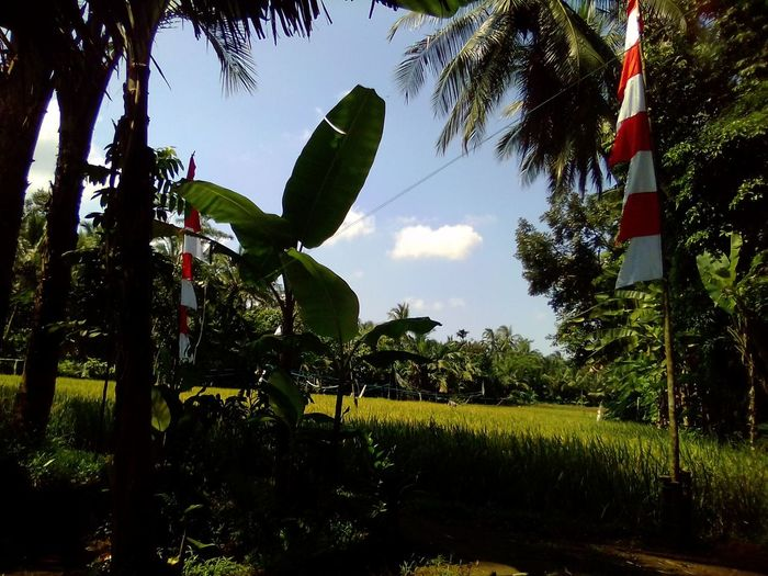 Paddy's field Tree Water Agriculture Greenhouse Sky Plant Plantation Terraced Field Banana Tree Banana Leaf Agricultural Field Farmland Growing Organic Farm