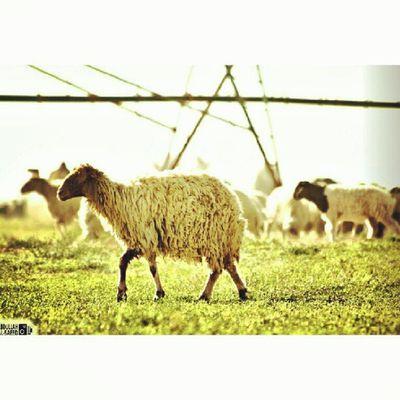 خروف مزرعة القصيم صورة Picture Sheep farm animal