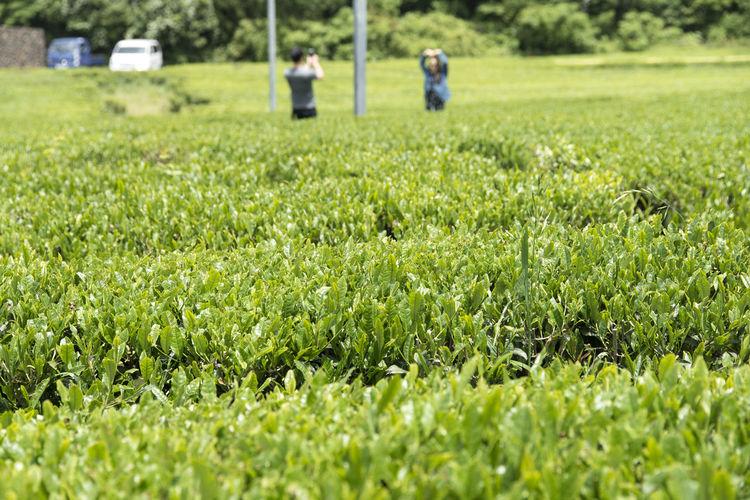 Scenic View Of Green Tea Field