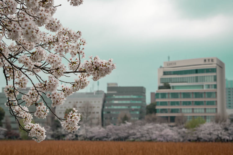 Cherry blossom by tree against buildings