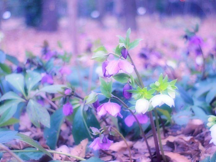 しょんぼり。Showcase March Flower Collection Colorful Spring Colours Flowers Spring Fleshyplants Takumar Bokeheffect Bokeh EyeEm Nature Lover 春 クリスマスローズ Airy Flowers Spring Time EyeEm Flower Hazy Days Hazy