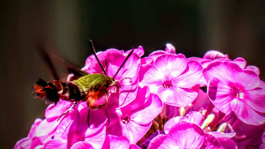 Humming Bird Moth Check This Out Beauty In Nature Fine Art Photography Showcase July No People Enjoying Nature Enjoying Summer Flower Flower, Nature & Beauty Purple Flower Colour Of Life Color Palette Maximum Closeness Insects  Butterfly