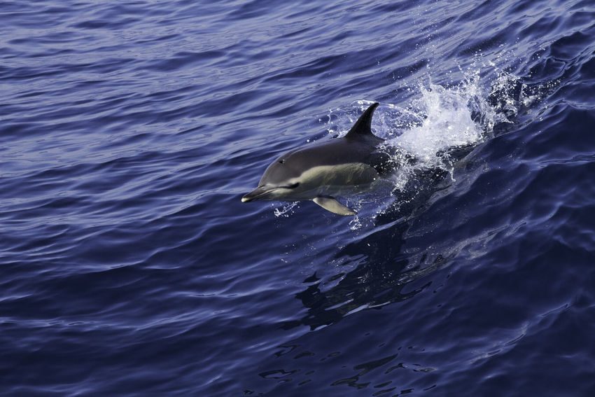 Common dolphin following our ship on the Atlantic Ocean. Animal Animal Themes Animals In The Wild Animals In The Wild Beauty In Nature Beauty In Nature Blue Day Dolphin Dolphins Exceptional Photographs Mammal Nature No People Ocean One Animal Outdoors Scenics Sea Water Wave Wilderness Wildlife Wildlife & Nature Wildlife Photography