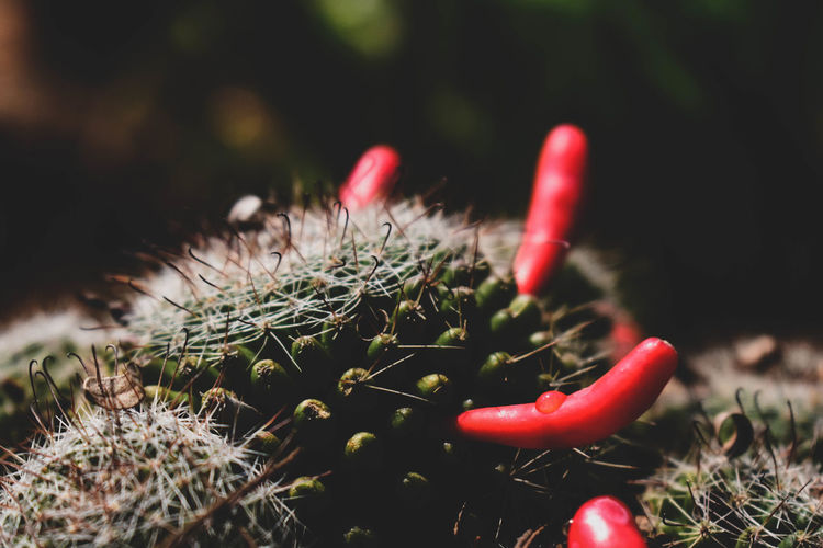 Close-up of red cactus growing on field