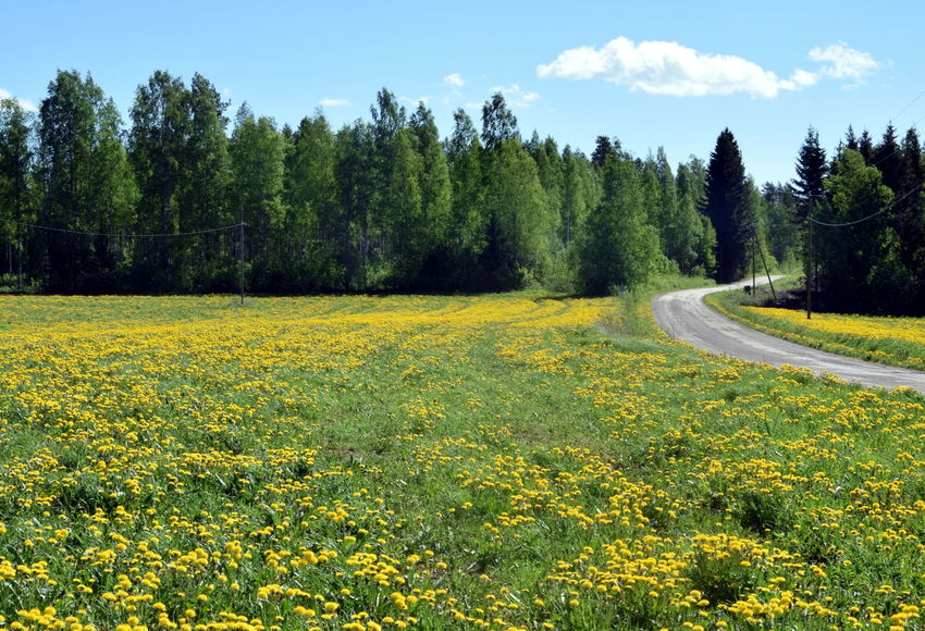 Finnish landscapes. Finland Flower Field Road Beauty In Nature Day Environment Field Flower Flowerbed Flowering Plant Green Color Growth Land Landscape Nature No People Non-urban Scene Plant Rural Landscape Scenics - Nature Sky Tranquility Tree Yellow Yellow Flowers