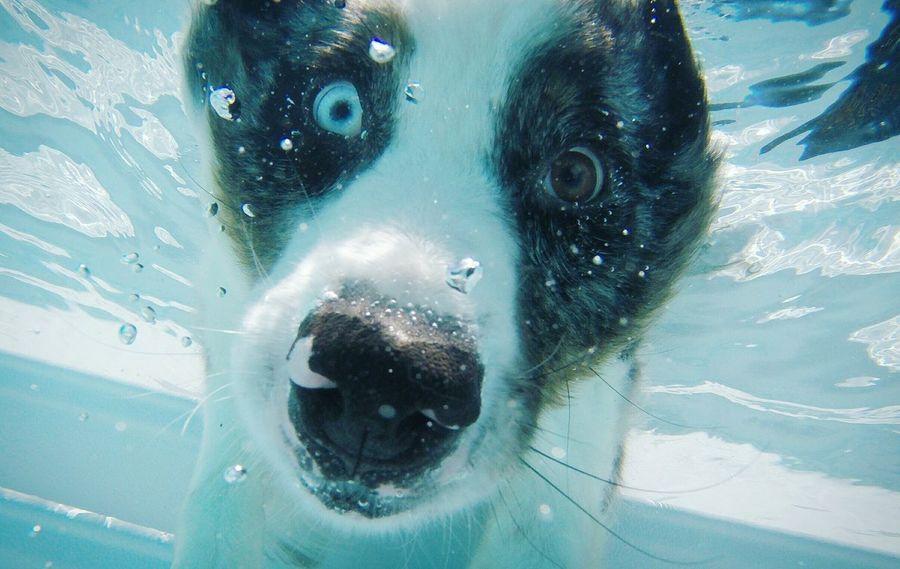 Australianshepherd Australian Shepherd  Aussieaddict Aussie Pet Dog Aussiephotos Aussies Pets Pool