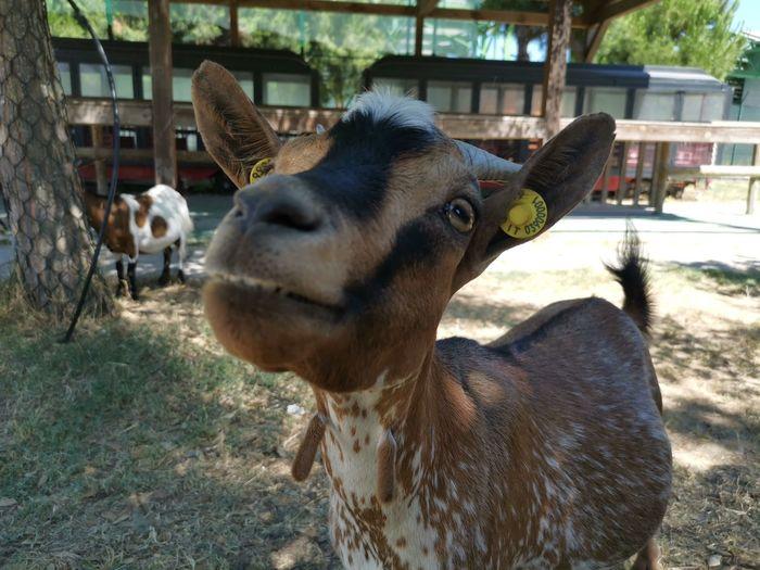 Close-up of goat