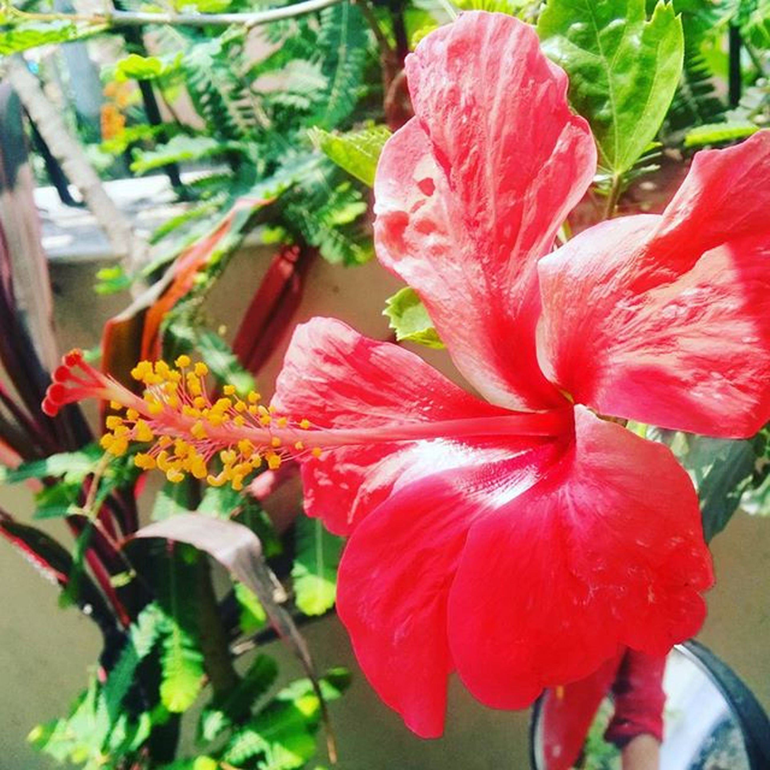 flower, petal, freshness, flower head, fragility, red, growth, blooming, beauty in nature, focus on foreground, close-up, plant, nature, stamen, pollen, in bloom, single flower, hibiscus, leaf, day