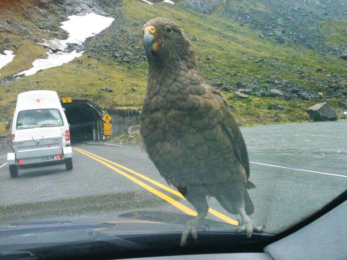 New Zealand parrot