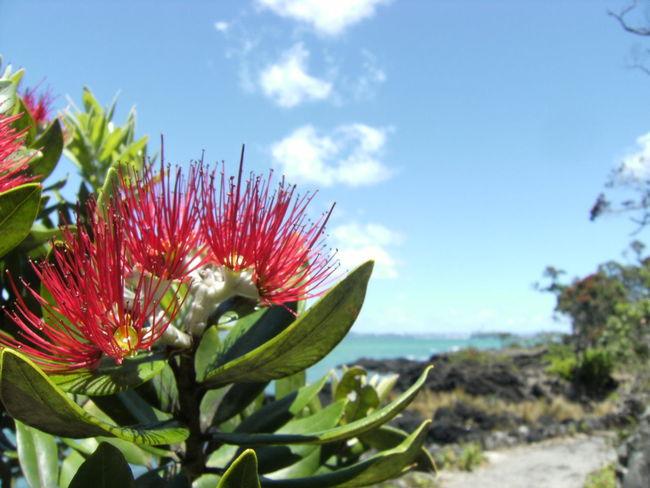 Blooming Day Flower No People Pohutukawa Rangitoto Island Sky Vulcanicisland