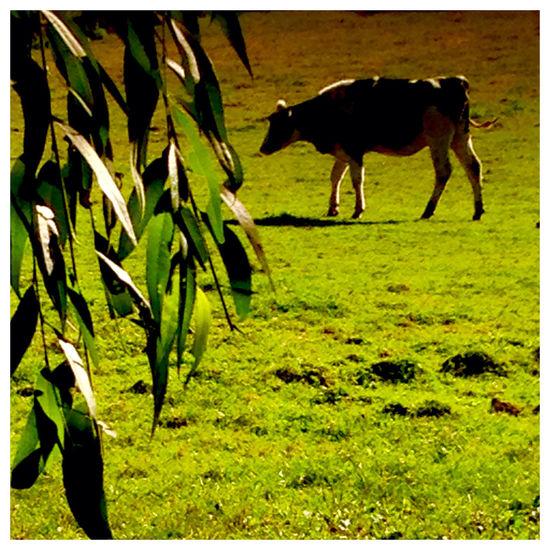 France, Picardie, Oise, le Compiegnois. Campagne Vache Bovin Vert Pâturages Oise  Picardy AgilPhoto
