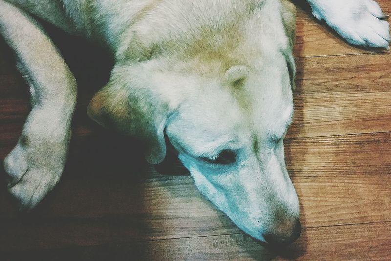 Lhamo Labrador I Love Labradors Dog Pet Animal Animal Lover EyeEm Gallery Eyeemcollection Eyeemphotography