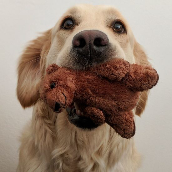 Close-Up Of Golden Retriever With Toy In Mouth Against White Background
