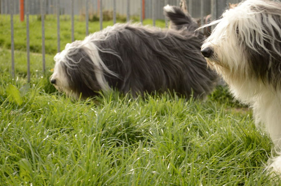Animal Hair Bearded Collie Dog Grass No People Sniffing Around