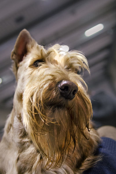 Animal Themes Close Up Close-up Deep Of Field Dof Dog Dog Nose Dog Of The Day Dog Portrait Dog Show Dogs Of EyeEm Domestic Animals Focus On Foreground Nose One Animal Pet Pets Pets Corner Pets Of Eyeem Picoftheday Portrait Scottish Scottish Terrier Textured  Wheaten