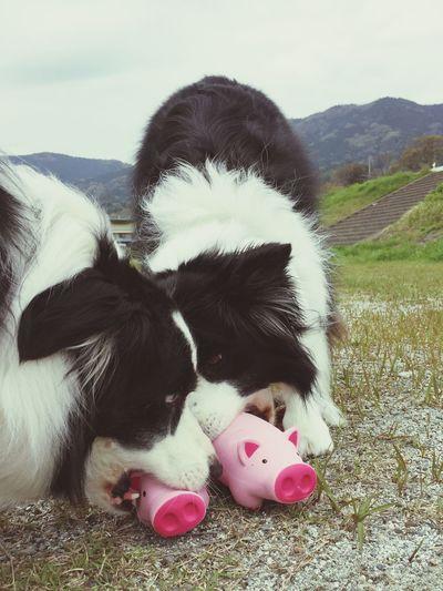 仲良く1個づつ♪ Border Collie My Border Collie I Love My Dog Dog Snap