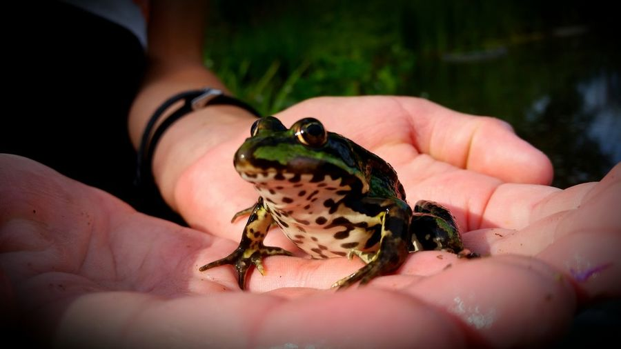 Frog Frosch Outdoor Nature Animal Natur Human Hand Reptile Holding Close-up