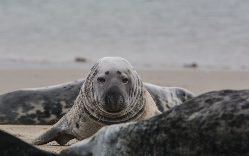 Close-up portrait of a seal on the beach