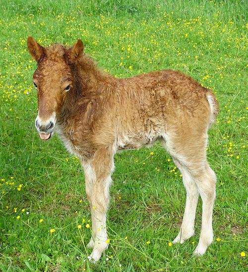 Fohlen im Frühling - A foal in the spring - Ätsch Grass Mammal Animal Animal Themes Plant Field Domestic Animals Domestic Land Livestock One Animal Pets Vertebrate Green Color Nature No People Day Brown Standing Outdoors Herbivorous Foal Young Animal A Foal In The Spring Stick Out Tongue