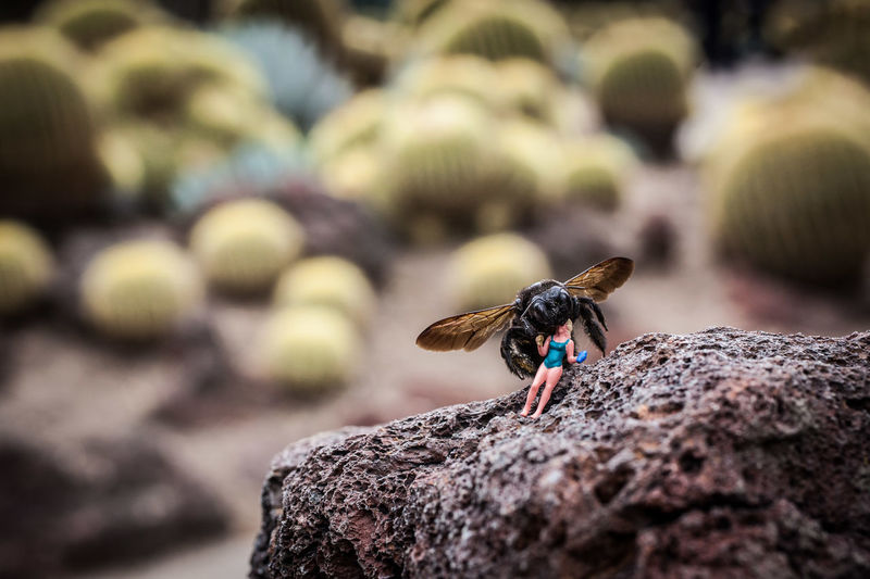 """""""Xylocopa Californica feeding on Poly Ethylene. Very unusual considering its normal affinity for wood."""" Animal Themes Bee Cactus Carpenter Bee Close-up Day Effect Humor In Camera Insect Miniature No People One Animal Outdoors Plastic Model Rock - Object Shallow Depth Of Field First Eyeem Photo"""