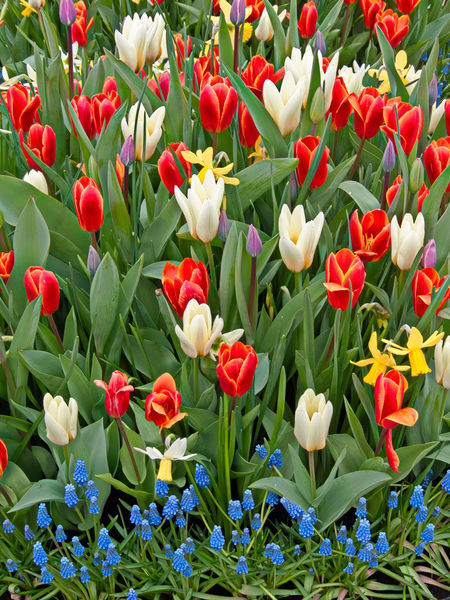 Colorful Flower Bed Grape Hyacinths In Bloom Multi Colored Spring Flowers Springtime Tulips Flowers
