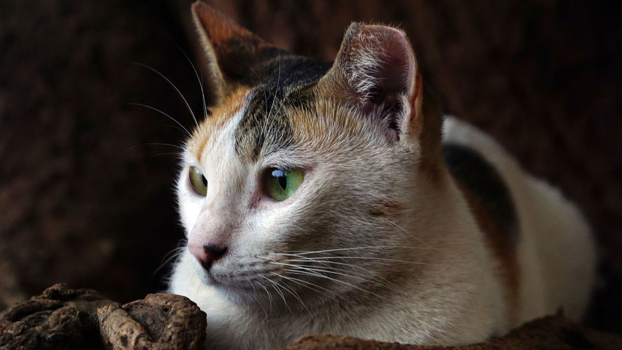 Animal Head  Focus On Foreground Whisker No People Close-up Vertebrate Domestic Animals Pets Domestic Feline Domestic Cat Animal Themes Animal One Animal Cat Mammal Cat Looking Side Way Cat Staring Side Wa