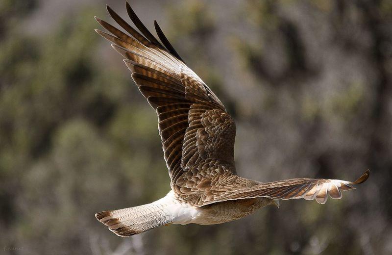 Águias águia De Harris One Animal Animals In The Wild Animal Wildlife Animal Themes Spread Wings Bird Flying Nature Fabricionunesfotografia Eagle