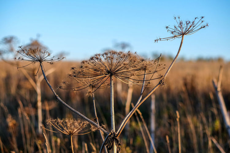Close-Up Of Dry Plant On Field Against Sky
